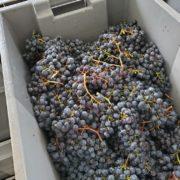 【豆知識】食べて美味しいブドウとワインにして美味しいブドウの違い